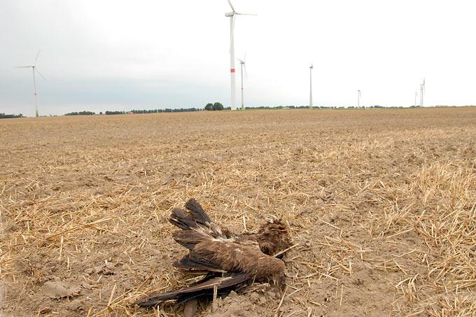 Schreiadler Windkraftanlage Schlagopfer