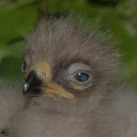 Schreiadlerküken im Nest, Aquila pomarina