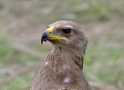 Schreiadler auf totem Rehbock, Aquila pomarina