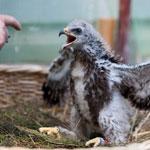 Jungvogelmanagement