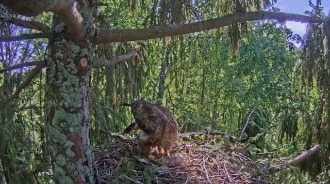 Webcam Schreiadler Tierbeobachtung