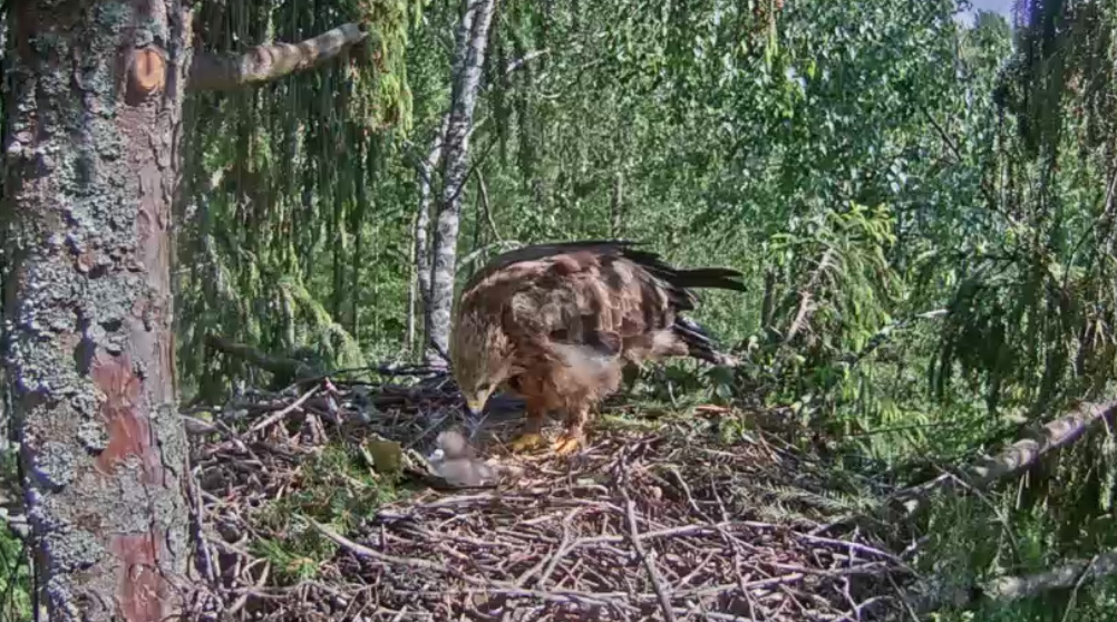 Adler Geschlüpft!
